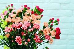 在桃红色背景的康乃馨 库存照片