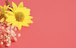 在桃红色背景的开花的向日葵 库存图片