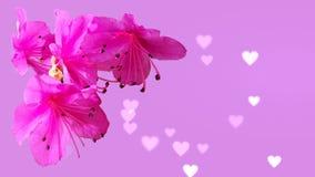 在桃红色背景的桃红色杜娟花花与bokeh心脏 免版税库存照片