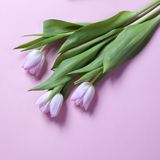 在桃红色背景的桃红色郁金香花的布置 Copyspace 免版税库存照片