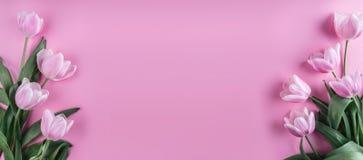 在桃红色背景的桃红色郁金香花 等待的春天 免版税图库摄影