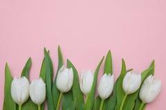 在桃红色背景的白色郁金香 库存照片