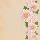 在桃红色背景的翠菊花 免版税库存照片