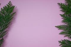 在桃红色背景的赛普里斯分支 免版税库存图片