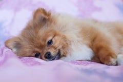 在桃红色背景的逗人喜爱的Pomeranian小狗 免版税图库摄影