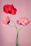 在桃红色背景的鸦片花 库存照片