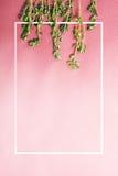 在桃红色背景的麝香草 库存图片