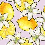 在桃红色背景隔绝的美丽的黄色柠檬果子和白花柑橘 花柠檬乱画图画 无缝的模式 图库摄影