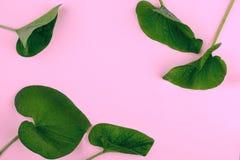 在桃红色背景,平的位置,上面,看法,有魄力的柔和的淡色彩,二重奏口气的绿色叶子 免版税库存照片