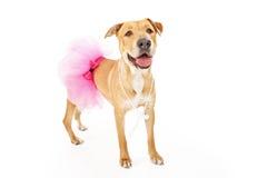 在桃红色芭蕾舞短裙的黄色拉布拉多狗 库存照片