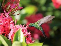 蜂鸟在Roatan 免版税库存照片