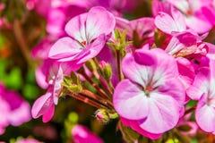在桃红色花之间的桃红色芽 免版税库存图片