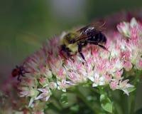 在桃红色花束顶部的土蜂 免版税图库摄影