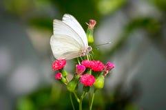 在桃红色花的一只白色蝴蝶 免版税图库摄影