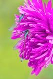 在桃红色花的两只联接的蓝色蜻蜓 免版税库存图片