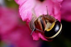 在桃红色花的两只蜗牛 库存图片