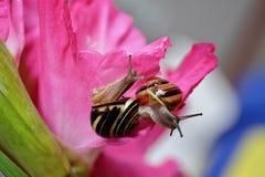 在桃红色花的两只蜗牛 免版税库存图片