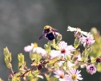 在桃红色花的土蜂 图库摄影