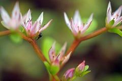 在桃红色花的小的臭虫 免版税库存图片