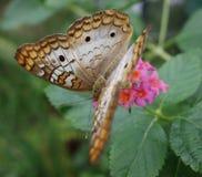 在桃红色花的白色孔雀铗蝶。 免版税库存照片