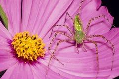 在桃红色花的绿色天猫座蜘蛛 图库摄影
