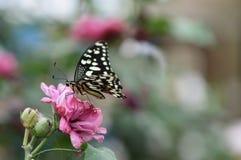 在桃红色花的美丽的蝴蝶 库存图片