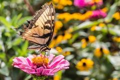 在桃红色花的老虎Swallowtail 库存图片