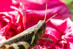 在桃红色花的蚂蚱 免版税库存照片