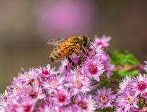 在桃红色花的蜂蜜蜂 免版税库存照片