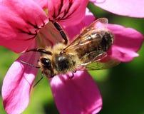 在桃红色花的蜂蜜蜂 免版税库存图片