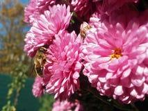在桃红色花的蜂 库存图片