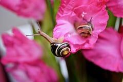 在桃红色花的蜗牛 免版税图库摄影