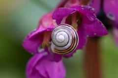在桃红色花的蜗牛 库存图片