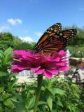 在桃红色花的蝴蝶在庭院里 免版税库存图片
