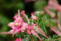 在桃红色花的螳螂 免版税图库摄影
