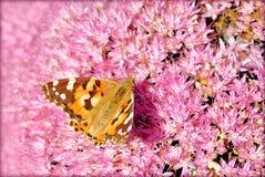在桃红色花的阿姆斯特丹蝴蝶 库存图片