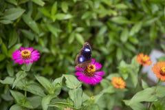 在桃红色花的黑热带蝴蝶 与眼睛的蝴蝶在翼 热带生态系的狂放的本质 库存照片