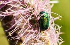 在桃红色花的绿色玫瑰色金龟子 Cetonia aurata甲虫 免版税库存照片