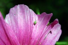 在桃红色花的绿色臭虫 库存照片