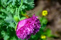 在桃红色花的蜻蜓 免版税库存图片