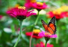 在桃红色花的蝴蝶在热带庭院里 免版税库存照片