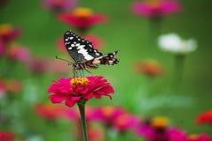 在桃红色花的蝴蝶在热带庭院里 库存照片