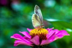 在桃红色花的蝴蝶 免版税库存照片