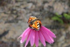 在桃红色花的蝴蝶 库存图片