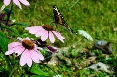 在桃红色花的蝴蝶 免版税库存图片