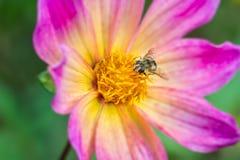 在桃红色花的Hoverfly在秋天 免版税库存照片