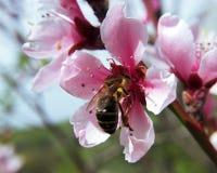 在桃红色花里面的蜜蜂饲养饮用的花蜜 免版税库存图片