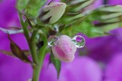在桃红色芽的雨珠 库存照片