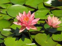 在桃红色荷花花的蓝色蜻蜓 免版税库存照片