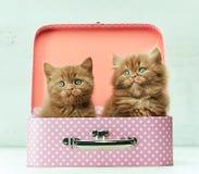 在桃红色袋子的两只小猫 库存图片